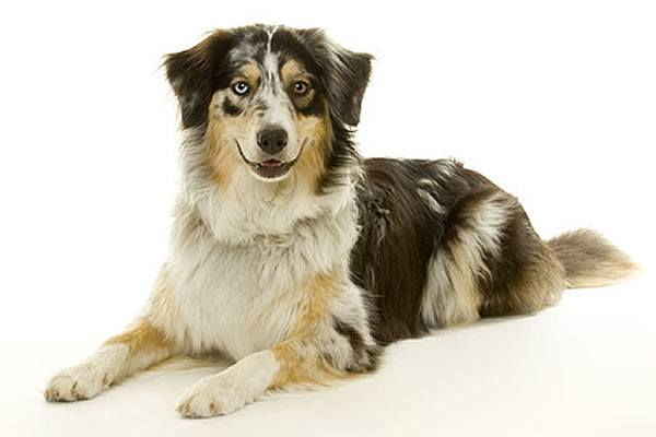 australian shepherd wesen charakter hunderassen a. Black Bedroom Furniture Sets. Home Design Ideas