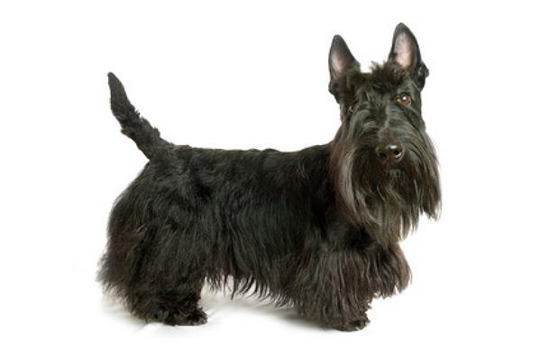 Scottish terrier züchter
