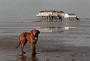 Watt- und Wassertraining mit einem Chesapeake Bay Retriever während der Ausbildung zum Therapiehund ins St. Peter Ording.