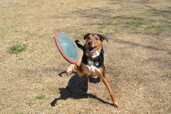 Hundefrisbee Hundesport Discdog