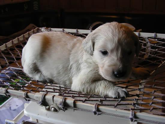 Welpe auf der Trainingswaage für die Rettungshundearbeitsvorbereitung.