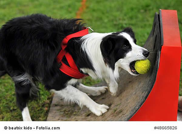 flyball hundesport