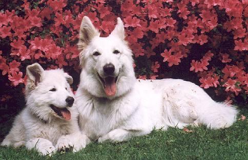 Weiße Schäferhunde