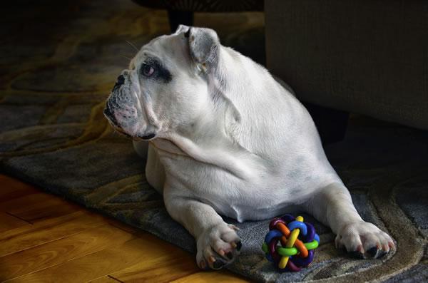 Brauchen Hunde Spielzeug?