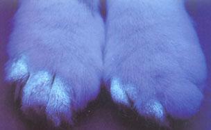 Fluoreszenz bei einer Katze mit einer Pilzinfektion an den Pfoten