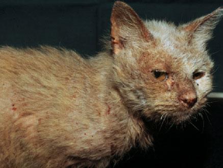 Notoedres-Milben haben eine Katze befallen