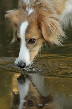hund trinkt aus der pfütze - leptospirose