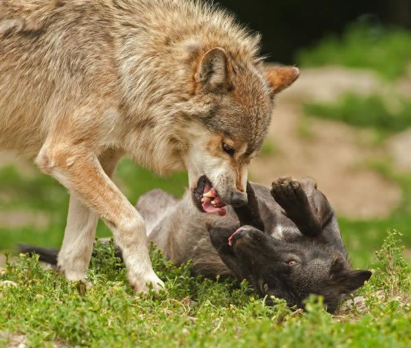 Vom wilden Wolf zum Mops