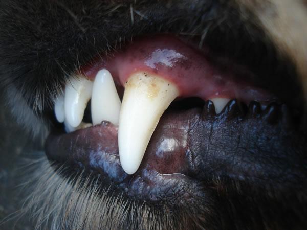 hund zahnstein