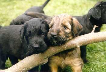 Welpen der Hunderassen Briard