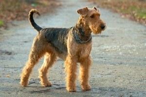 airedale terrier kaufen