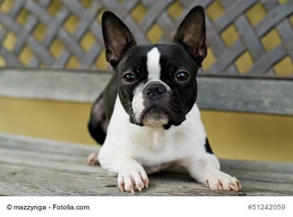 der boston terrier