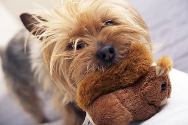 Australian Silky Terrier welpen