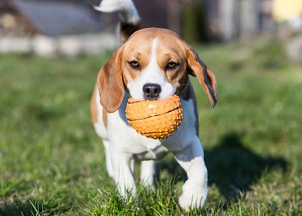 beagle wesen charakter