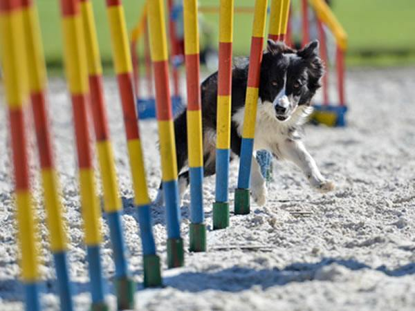 sportlicher border collie
