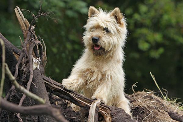 cairn terrier welpen