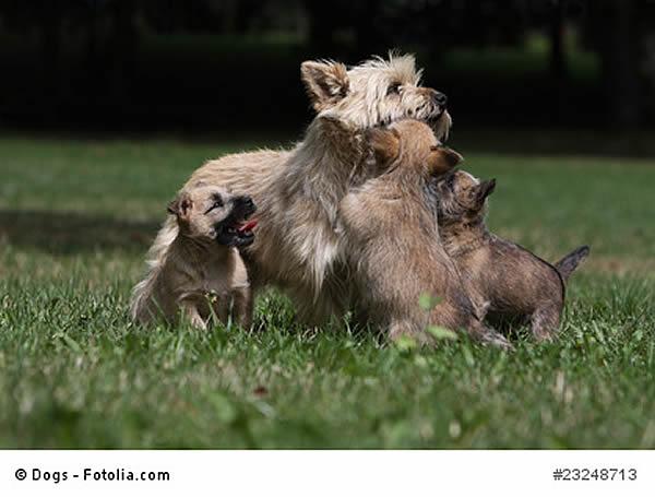 hunderasse cairn terrier