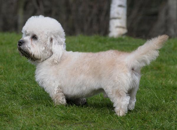Dandie Dinmont Terrier Züchter bei Welpen.de