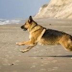 Deutscher SchäferhundCharakter, Erziehung und Haltung