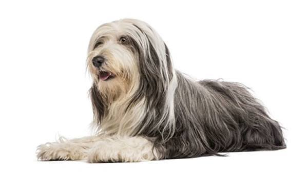 bearded collie kaufen