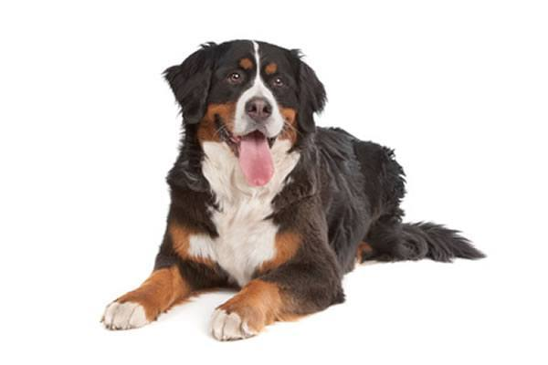 Bernese Mountain Dog Breed Standard