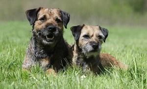 hunderasse border terrier