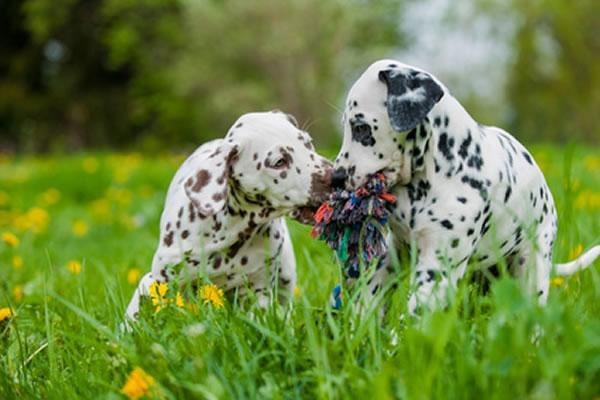 hunderasse dalmatiner