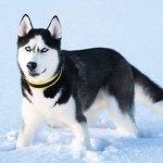 Berühmte Hunde: Schlittenhund Balto