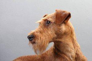züchter der hunderasse irish terrier