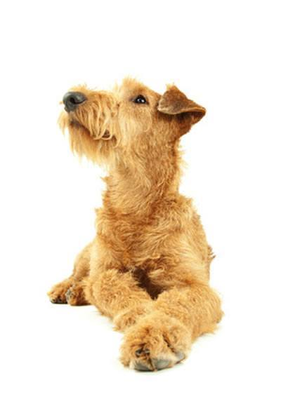 die hunderasse irish terrier