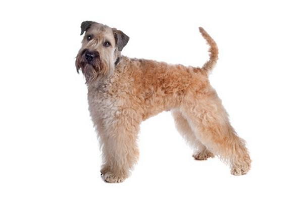 Irish Soft Coated Wheaten Terrier Züchter