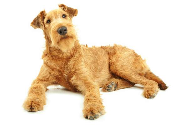 hunderasse irish terrier