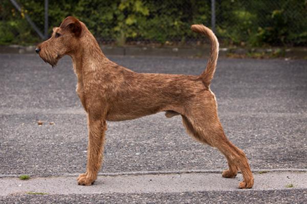 hunderasse irish terrier