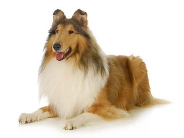 Toy Shepherd Dog