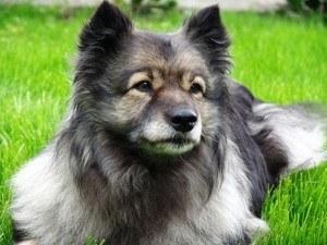 wolfsspitz züchter