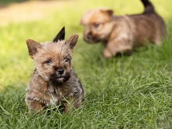 norwich terrier welpen