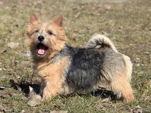 wie alt werden norwich terrier