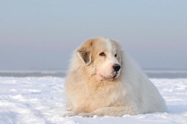 französischen Pyrenäenberghunde