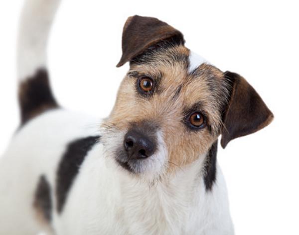 was kostet ein parson russell terrier