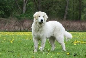 Pyrenäenberghund bilder und züchter der hunderasse