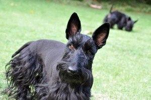 sscottish terrier welpen kaufen