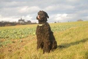züchter russischer schwarzer terrier