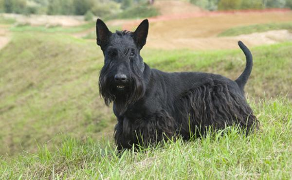 scottish terrier züchter deutschland