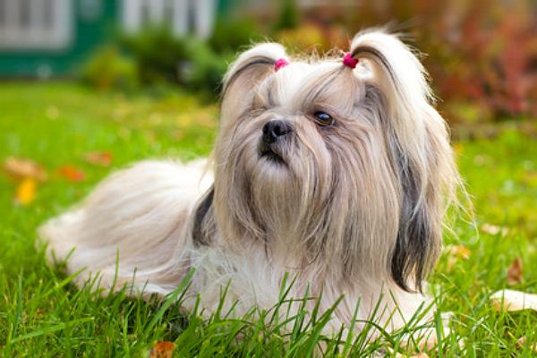Shih Shu Dog For Sale