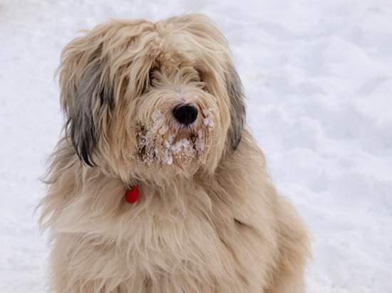 kosten tibet terrier