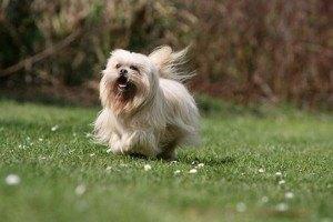 tibet terrier welpen kaufen