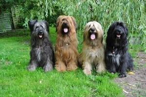hunde der rasse wäller