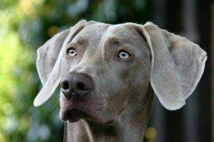 ist der weimaraner ein familienhund