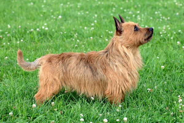 australian terrier info seite