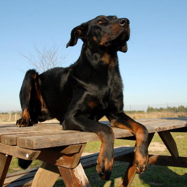 schutzhund beauceron